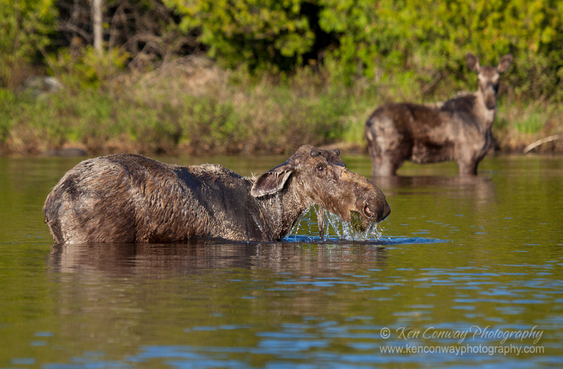 Bull Moose with female in the background