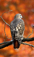 Red Tailed Hawk with foliage