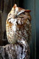 Red Morphed Eastern Screech Owl