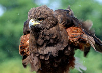 Harris's Hawk shaking off the dust