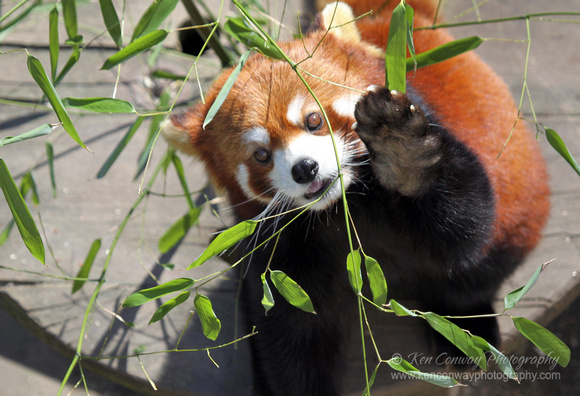 Ken Conway Photography | Zoo | Red Panda eating bamboo